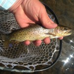 44651695_Bonneville Cutthroat
