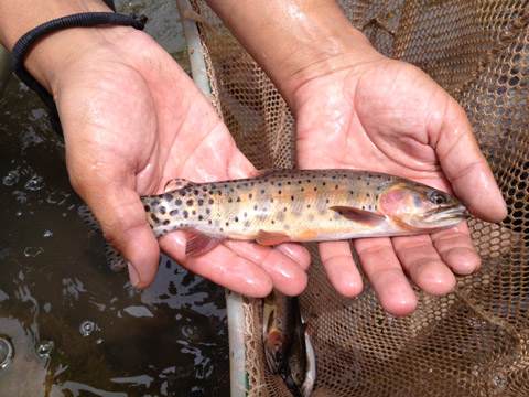 small-high-country-cutthroat