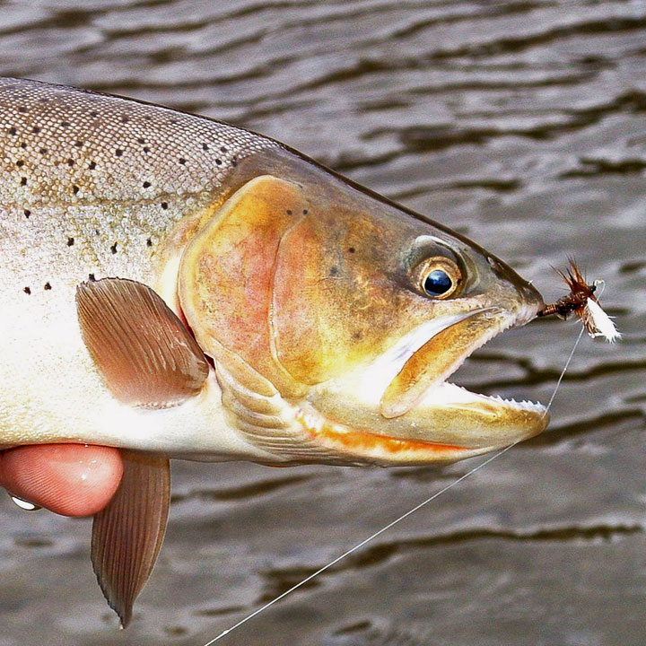 sq-yellowstone-cutthroat-1
